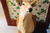 mounted animal head